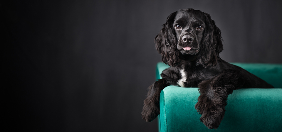 cockapoo-dogphotographer